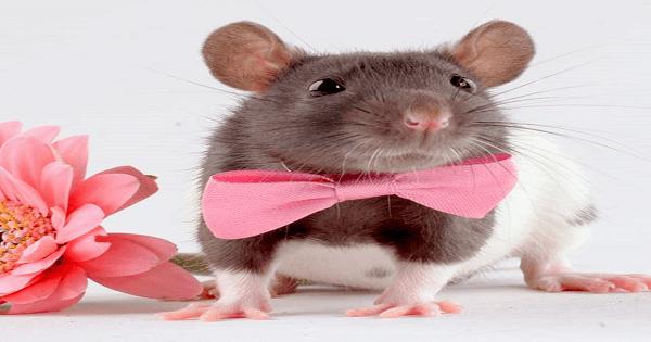 التخلص من الفئران بواسطة الفلفل الاسود