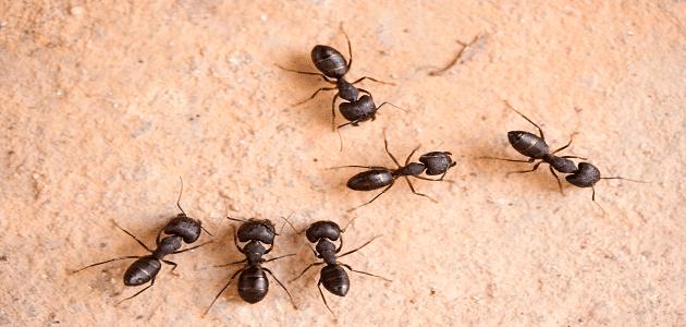 دواء اكتومثرين للقضاء على النمل مع طريقة الإستخدام