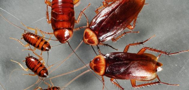 كيفية التخلص من الصراصير بدون مبيدات