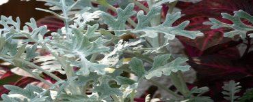 طريقة استخدام نبات الشيح للسرطانطريقة استخدام نبات الشيح للسرطان
