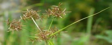 فوائد نبات السعد للمنطقة الحساسة
