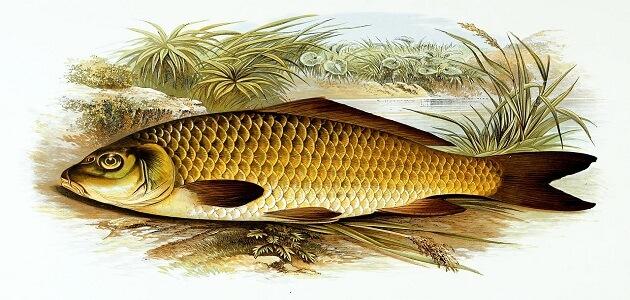 اضرار تناول سمكة الشبوط على الإنسان