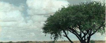 اهم 7 فوائد لنبات الطلح الصحراوي