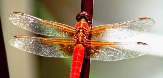 خطورة قرصة حشرة اليعسوب علي جسم الانسان