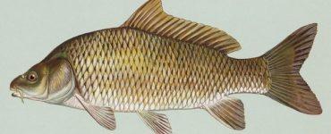 فوائد سمك الشبوط لصحة الإنسان