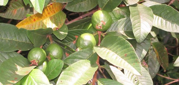 فوائد غلي ورق الجوافة للصدر