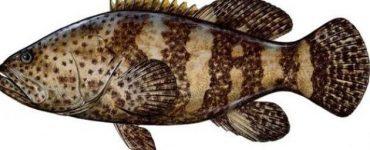 ما هي انواع سمك الهامور وأهم فوائده للجسم