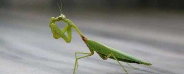10 أضرار لقرصة حشرة فرس النبي فور إصابة الإنسان