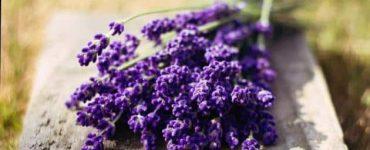 7 فوائد مهمة لعشبة الخزامى للسيدات والرجال