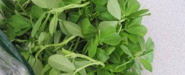 طريقة استخدام اوراق الحلبة الخضراء للتخسيس