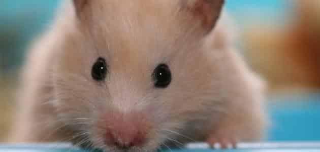 اضرار عضة حيوان الهامستر وطرق علاجها