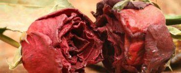 طرق حفظ و تجفيف الورد الطبيعي