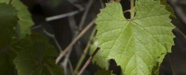 كيف افرز ورق العنب الأخضر