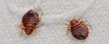 كيفية القضاء على حشرة الفراش
