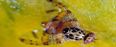 كيف يتم القضاء على ذبابة الفاكهة
