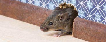 كيف نقضي على الفئران في البيت