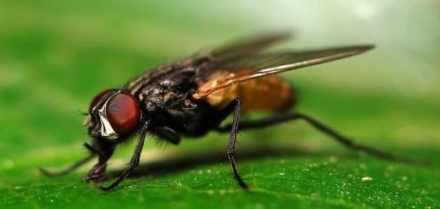 كيفية التخلص من الذباب بدون مبيدات