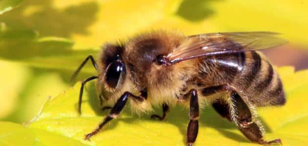 أسرع طريقة للتخلص من النحل