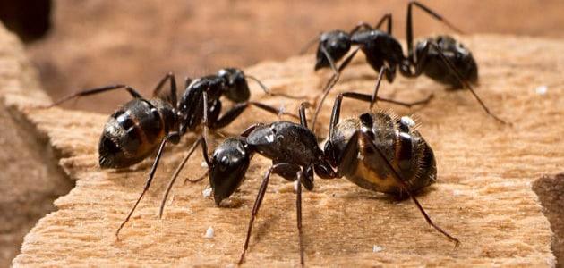 من عجائب وغرائب النمل
