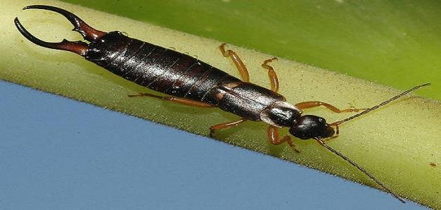 كيف يمكن القضاء على حشرة أبو مقص