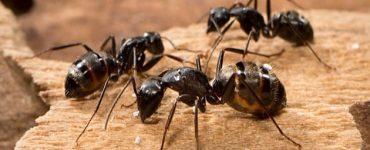 وصفات طبيعية للقضاء على النمل
