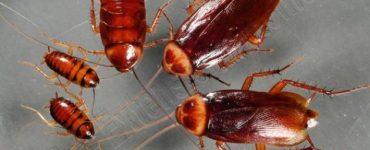 ما هو سبب وجود الصراصير في البيت