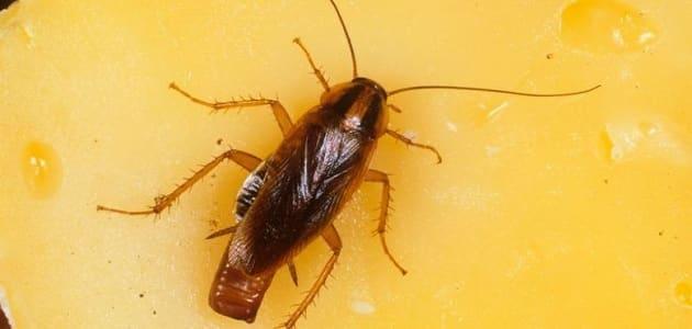 القضاء على الصراصير الكبيرة نهائياً