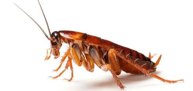 طريقة طبيعية للقضاء على الصراصير الصغيرة